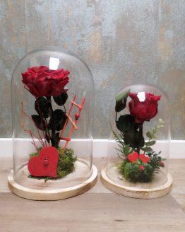 Rosas liofilizadas con campana